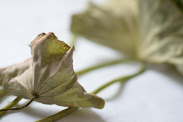 dry lotus