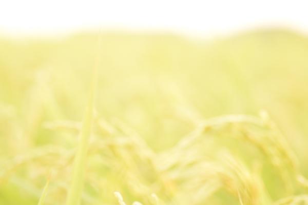 ca-koのウェブサイトです。四季折々の道草。心にとまった身近な草花を、小さな発見を楽しみながら出会った器に合わせています。稲穂の写真です。