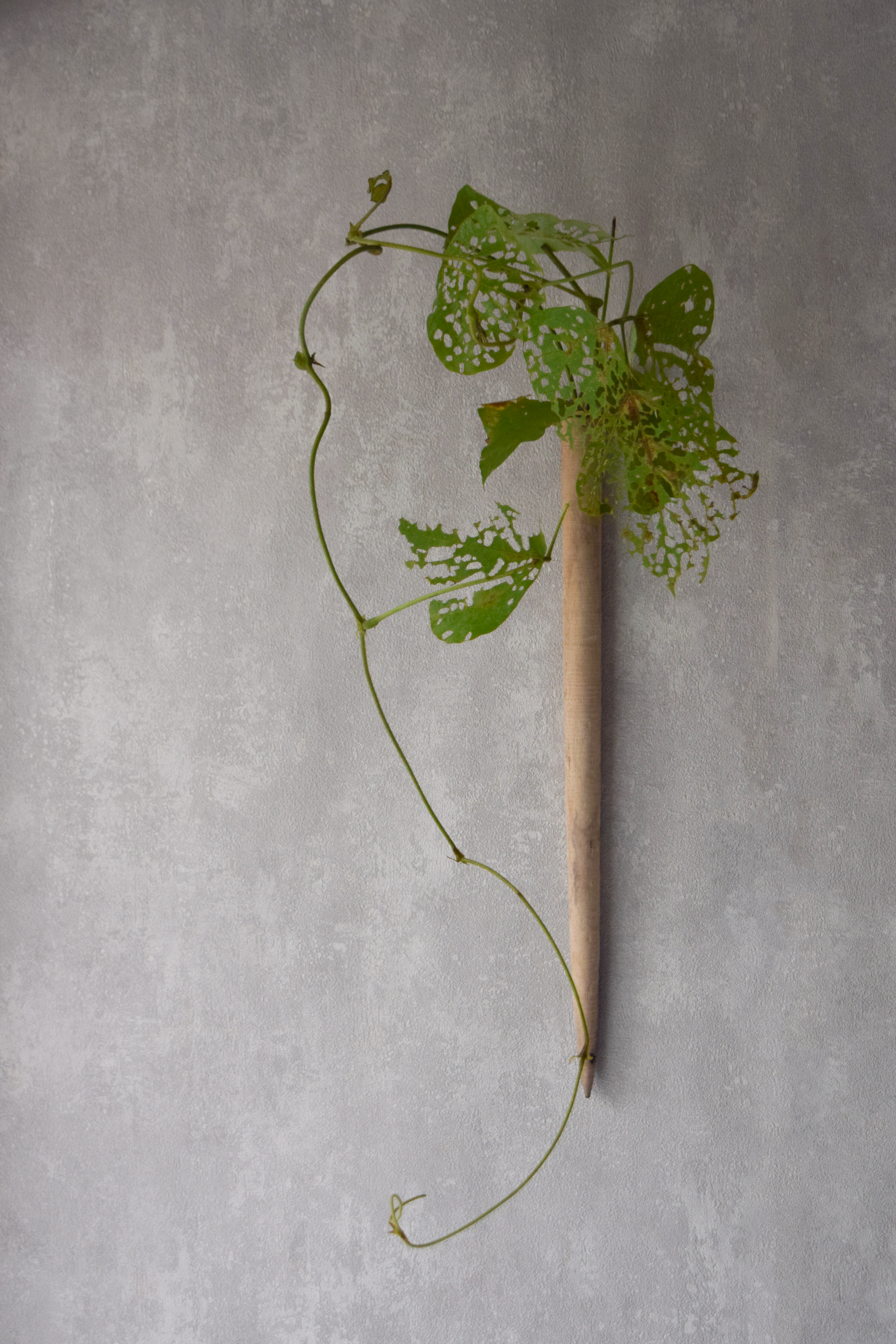 烏山結貴、ca-koのウェブサイトです。四季折々の道草。心にとまった身近な草花を、小さな発見を楽しみながら出会った器に合わせています。抛入花の写真です。葛を入れました。